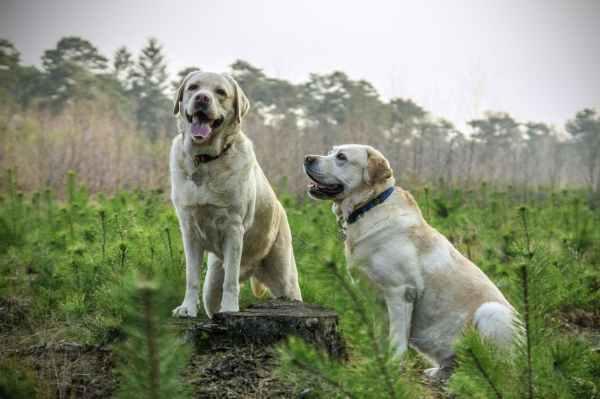 animal labrador animals dogs